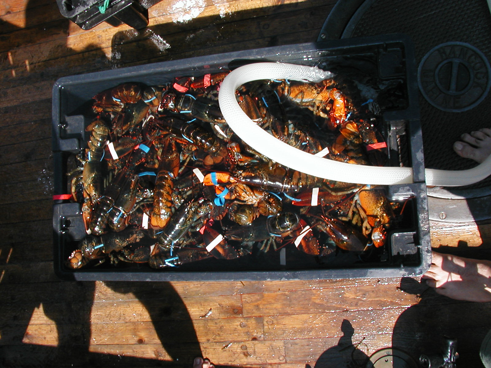 Lobster in recirculating tank