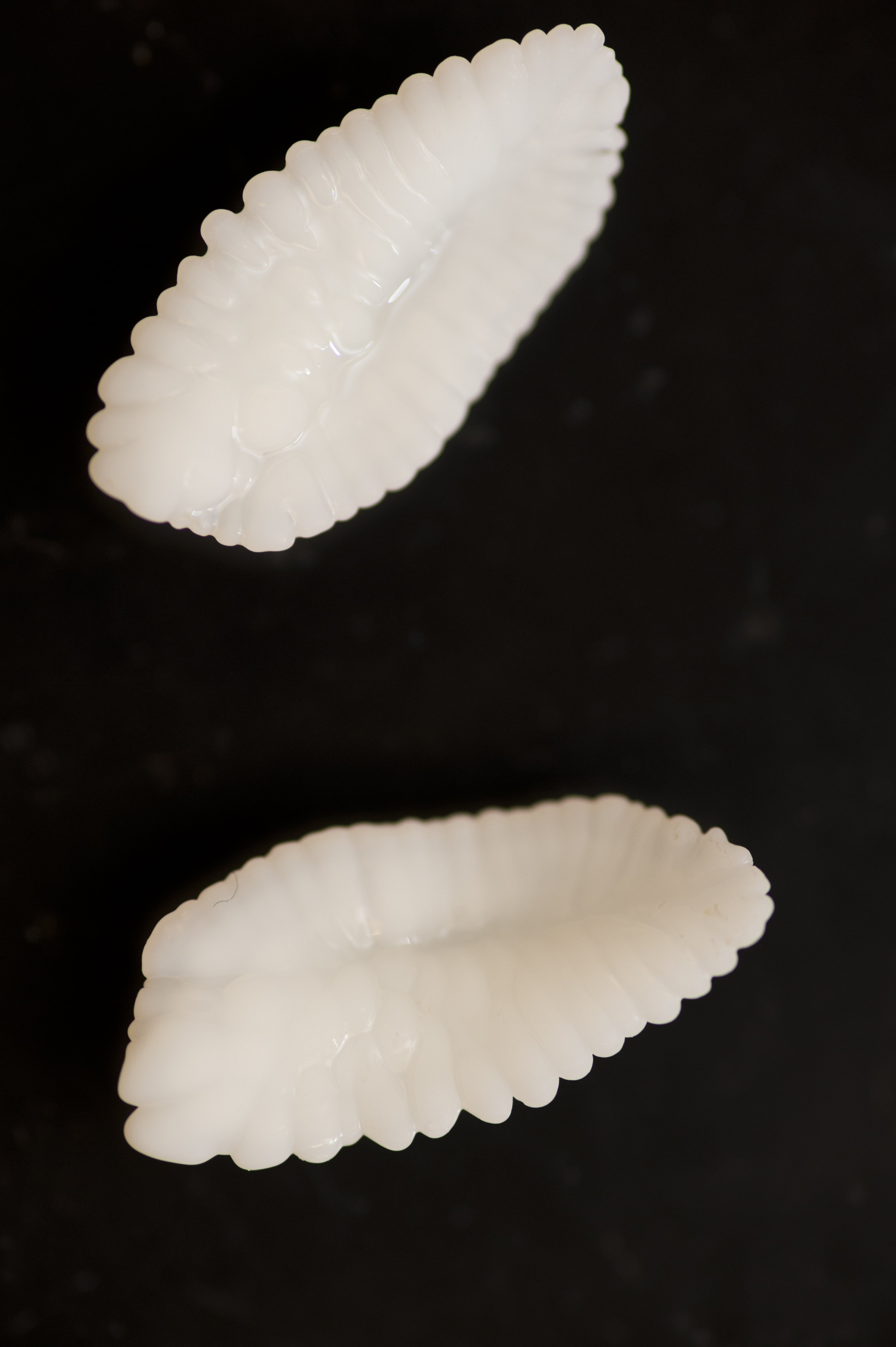 Atlantic Cod otoliths